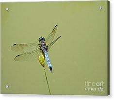 Dragonfly Acrylic Print by Andrew Kazmierski