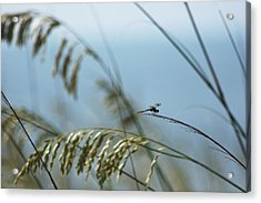 Dragonfly On Sea Oats Acrylic Print by Robert  Suits Jr