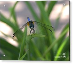 Dragonfly Wit An Attitude Acrylic Print by Debbie May