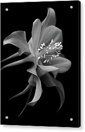 Dreamy Columbine Acrylic Print by Robert Pilkington