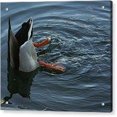 Duck Butt Acrylic Print by Daniel Gilbreath