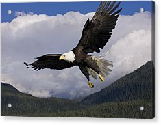 Eagle Flying In Sunlight Acrylic Print by John Hyde - Printscapes