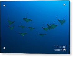 Eagle Rays In Ocean Acrylic Print by Dave Fleetham - Printscapes