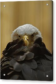 Eagle Thinking Acrylic Print by Peter Gray