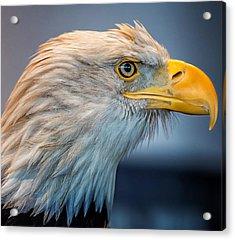 Eagle With An Attitude Acrylic Print by Bill Tiepelman
