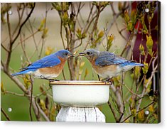 Early Bird Breakfast For Two Acrylic Print by Bill Pevlor