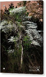 Easter Dogwood Acrylic Print by Tamyra Ayles