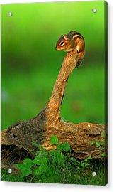 Eastern Chipmunk Acrylic Print by Alan Lenk