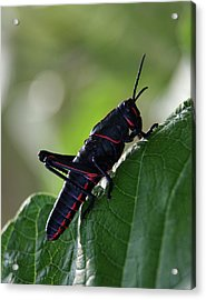 Eastern Lubber Grasshopper Acrylic Print by Richard Rizzo