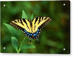 Eastern Tiger Swallowtail Acrylic Print by Rich Leighton