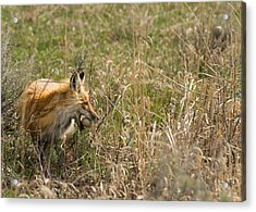 Egg Thief Acrylic Print by Birches Photography