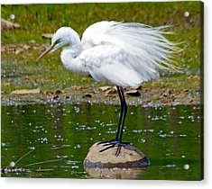 Egret In Mating Plumage Acrylic Print by Kristine Quandee