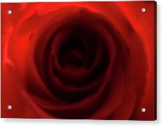 Elegant Rose Acrylic Print by Bransen Devey