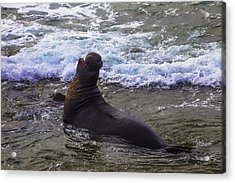 Elephant Bull Seal In Surf Acrylic Print by Garry Gay