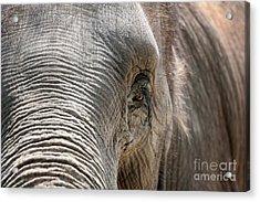 Elephant Eye Acrylic Print by Jeannie Burleson