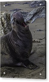 Elephant Seal Calling Acrylic Print by Garry Gay