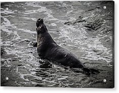 Elephant Seal In Surf Acrylic Print by Garry Gay