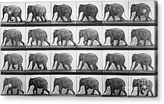 Elephant Walking Acrylic Print by Eadweard Muybridge