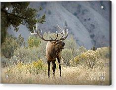 Elk Bugling Acrylic Print by Wildlife Fine Art