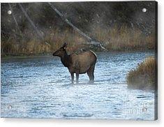 Elk In Fog Acrylic Print by Wildlife Fine Art