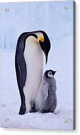 Emperor Penguin Adult With Chick Acrylic Print by Kevin Schafer