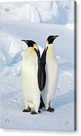 Emperor Penguins, Weddell Sea Acrylic Print by Joseph Van Os