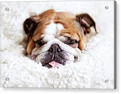 English Bulldog Sleeping In Fluffy White Blanket Acrylic Print by Hanneke Vollbehr