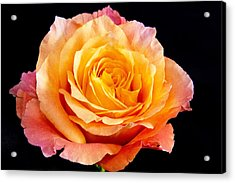 Enticing Beauty The Orange  Rose Acrylic Print by Daphne Sampson