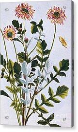 Ethiopian Arcotis  African Lily Acrylic Print by Pierre-Joseph Buchoz