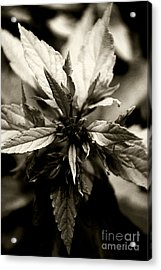Evermore Acrylic Print by Linda Knorr Shafer