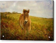 Exmoor Wild Pony Acrylic Print by Carla Parris