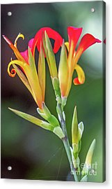 Exotic Flowers Acrylic Print by Kate Brown
