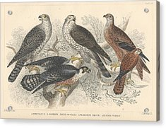 Falcons Acrylic Print by Oliver Goldsmith