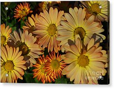 Fall Flowers In Madison  Acrylic Print by Amy Lucid