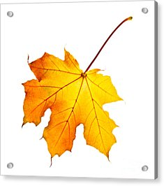 Fall Maple Leaf Acrylic Print by Elena Elisseeva
