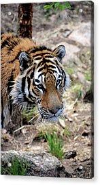 Feline Focus Acrylic Print by Angelina Vick