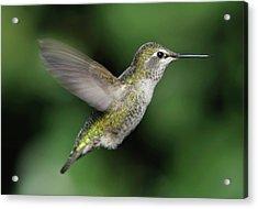 Female Anna's Hummingbird In Flight Acrylic Print by Barbara Rich