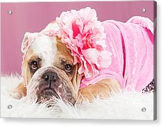 Female Bulldog Wearing Pink Outfit And Flower Acrylic Print by Susan Schmitz