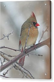Female Cardinal In A Tree Acrylic Print by Laurie With