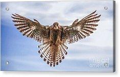 Female Kestrel Hovering Acrylic Print by Liz Leyden