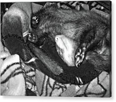 Ferret In His Yu-gi-oh Blanket Nest - Black And White Acrylic Print by Mary Ann Weger