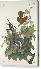 Ferruginous Thrush Acrylic Print by John James Audubon