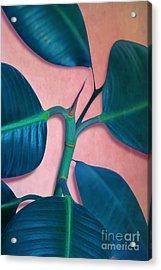 Ficus Elastica Acrylic Print by Mark Ashkenazi