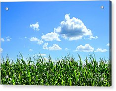 Field Of Corn In August Acrylic Print by Sandra Cunningham