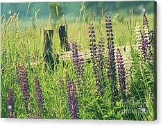 Field Of Lupin Flowers  Acrylic Print by Sandra Cunningham