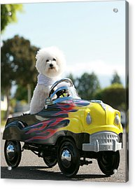 Fifi Goes For A Car Ride Acrylic Print by Michael Ledray