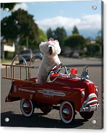 Fifi The Bichon Frise To The Rescue Acrylic Print by Michael Ledray