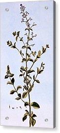 Figwort, Or Scrofulaira Acrylic Print by Pierre-Joseph Buchoz