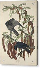 Fish Crow Acrylic Print by John James Audubon