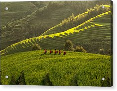 Five Ladies In Rice Fields Acrylic Print by Max Witjes